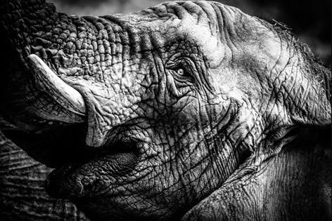 "Aluminium schilderij ""Happy Elephant BW"" van MondiArt"