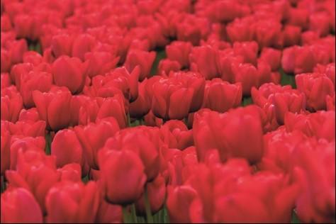 """Aluminium schilderij """"Pink flower field"""" van MondiArt"""
