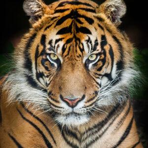 """Glasschilderij """"Bengaalse tijger"""""""